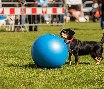 chien pratique treibball