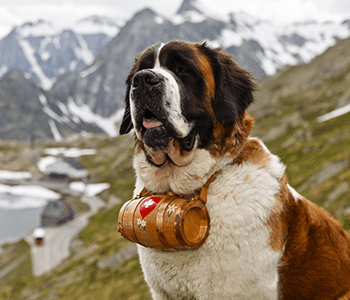 chien sauveteur montagne