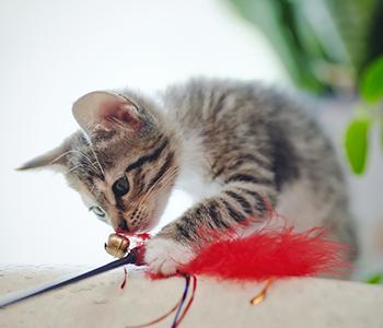 Jouez régulièrement avec votre chaton
