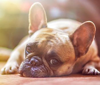 Certains chiens sont plus sensibles que d'autres