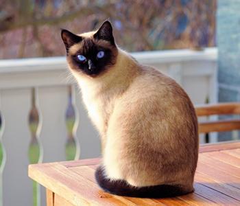 Mais pourquoi les chats aiment tant nous montrer leurs fesses ? Siamois%20