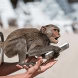 chimpanzé avec un smartphone dans les mains