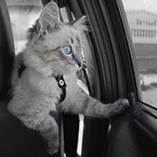 Chat en voiture