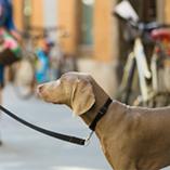 Découvrez les règles de sécurité pour promener votre chien en ville
