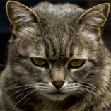 Chat_Age_Gris
