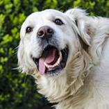 chien excité tire la langue