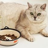 chat obèse